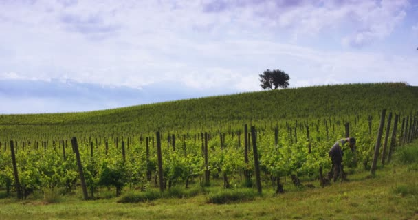 Slow motion of vintner taking care of the vines (dramatic clouds panorama view)