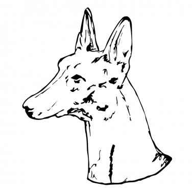 Graphic vector illustration of Pharaoh Hound Dog. Isolated Vector Dog Portrait.