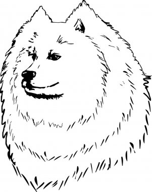 Graphic vector illustration of Samoyed Dog. Isolated Vector Dog Portrait.