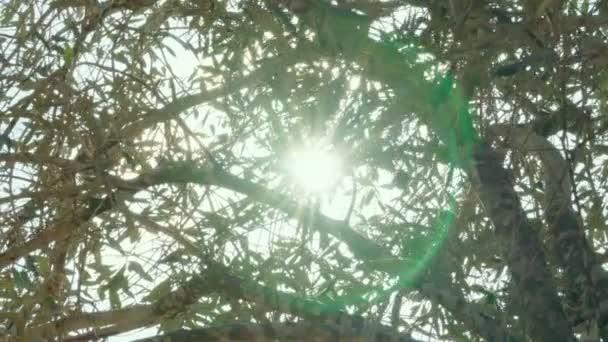 olivovník plantáž
