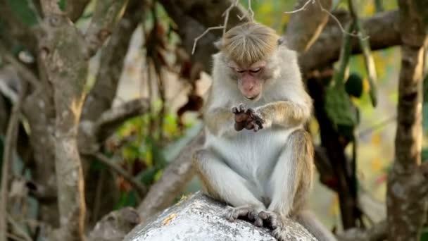jedna opice na Srí Lance