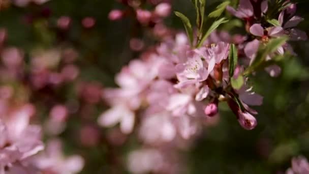 rózsaszín virágzó ágak, imbolygott a szélben