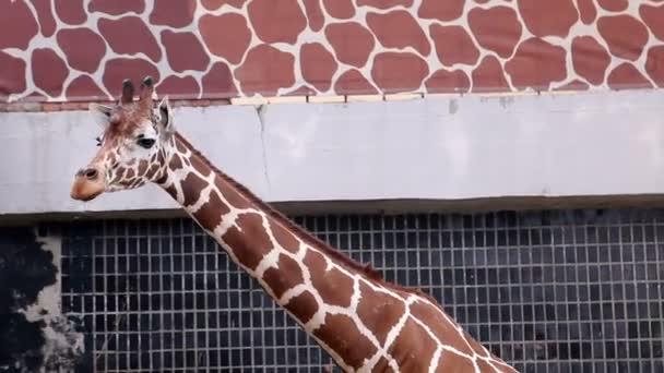 zsiráf az állatkertben van a nyári meleg időjárás