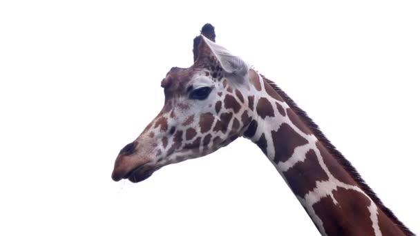 žiraffe v letním teplém počasí na bílém pozadí