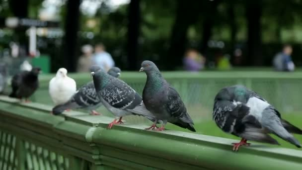 group pigeones is sitting on the green side