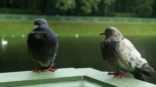 two pigeones is sitting on the green side