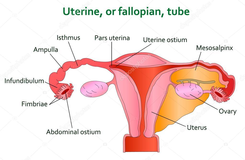 Uterine And Follopian Tube Diagram Stock Vector Kinofeverine