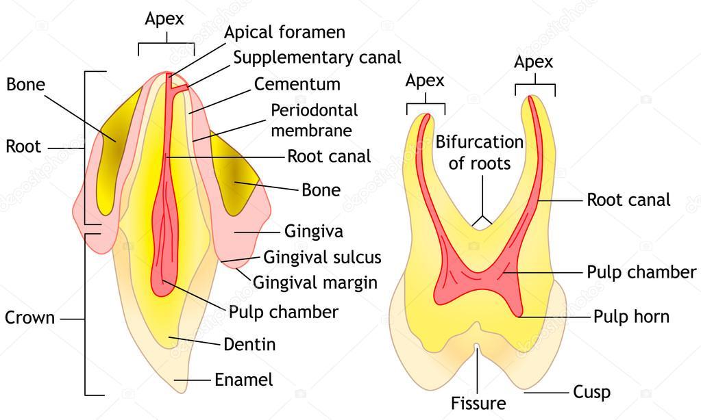 Tooth anatomy, vector — Stock Vector © kinofever.online.ua #107282442