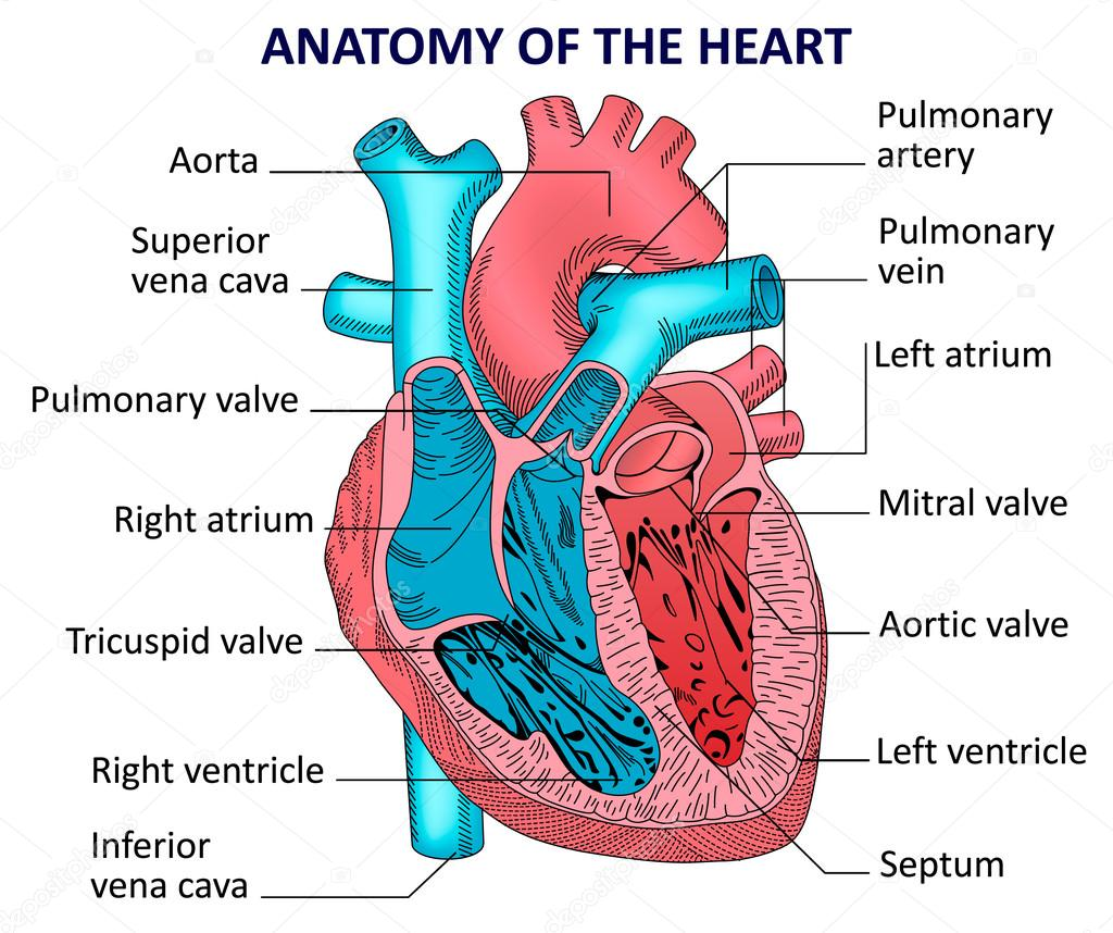 Anatomy Of The Human Heart Stock Vector Kinofeverine