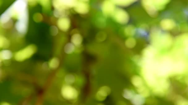 Réva v létě. Rozostření na zelených hroznů a listů. Zblízka. Hroznů vinice.