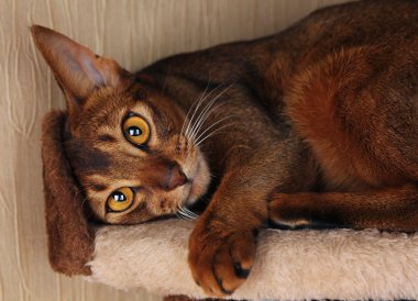 Abyssinian cat lying in cat house