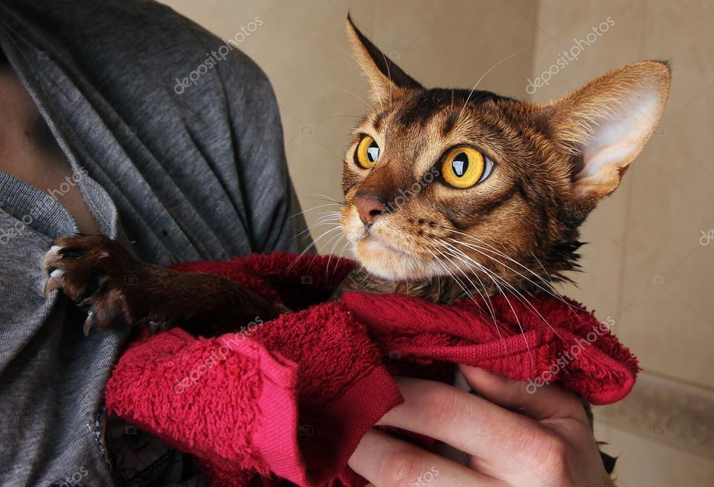 Gatto abissino bagnati nel tovagliolo rosso nelle mani del Maestro ...