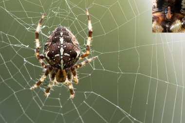 Araneus diadematus spider on web, with detail of epigyne