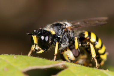 Digger wasp Ectemnius cephalotes with hoverfly prey
