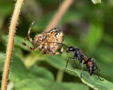 Spider-hunting wasp Caliadurgus fasciatellus with paralysed spider prey hanging on silk thread.