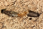 Photo Psyche casta micro moth with exuvium, from above