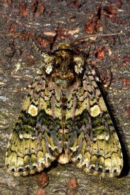 The coronet moth (Craniophora ligustri) from above