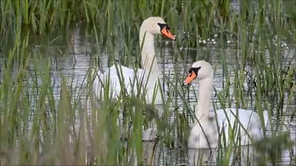 Ztlumit labutě (Cygnus olor) a jednotvárněji na vodu mezi rákosím