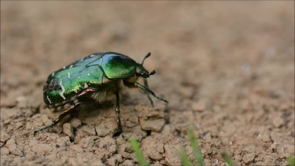 Vrchní a postranní díl Rose brouk (Zlatohlávek zlatý) napaden mravenci