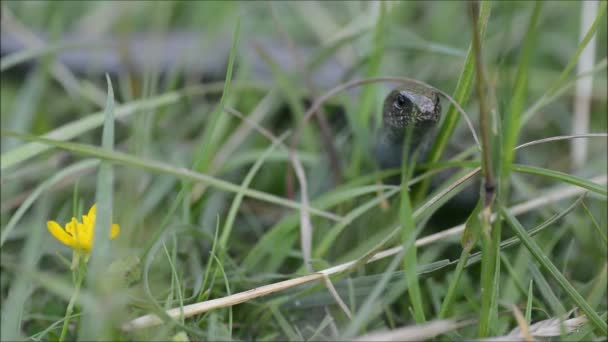 Slow worm (Anguis fragilis) moving through grass