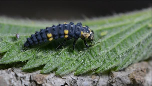 Sedm spot slunéčko sedmitečné (slunéčko sedmitečné) larva stravovací mšice
