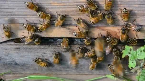 Mézelő méhek (Apis mellifera), ezen a környéken: bejárat a kaptár