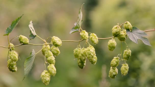 Chmel (Humulus lupulus) květiny na vine