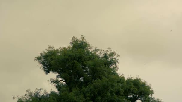 Vlaštovky (Hirundo rustica) sešlo přes strom