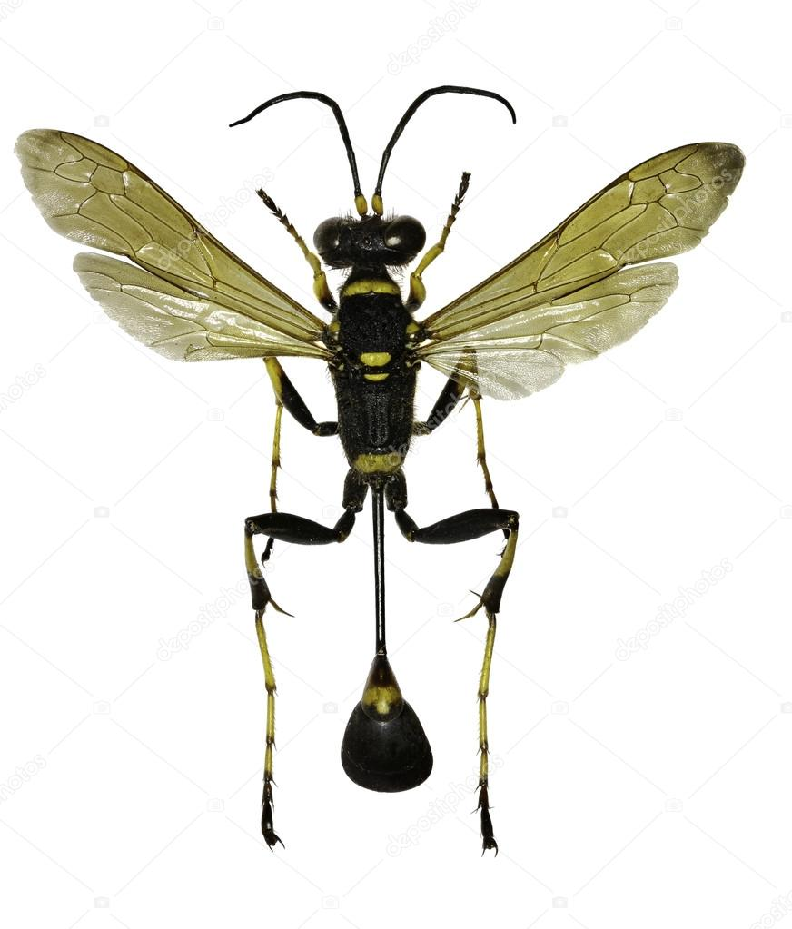 black and yellow mud dauber on white background sceliphron