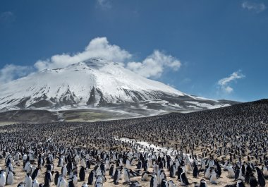 Huge colony of penguins