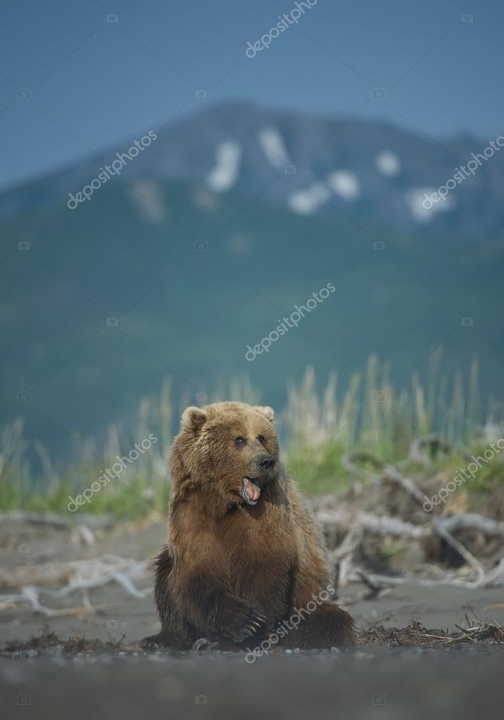 Grizzly bear sitting on the beach