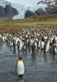 Velké kolonie mladých král tučňáci