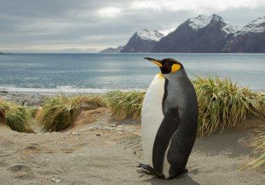 King penguin standing on the sandy beach