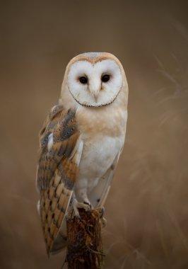 Barn owl sitting on perch