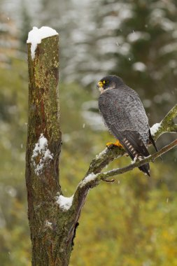 Peregrine falcon perching on the tree
