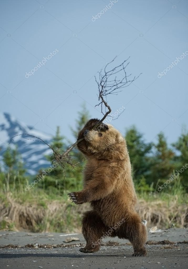 Grizzly bear playing with small tree