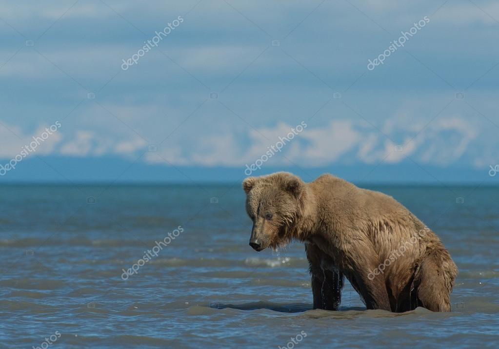 Grizzly bear looking for clamps