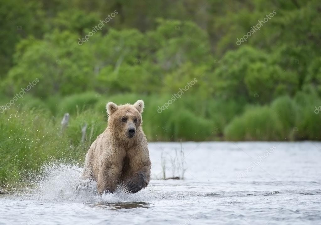 Grizzly bear fishing salmon