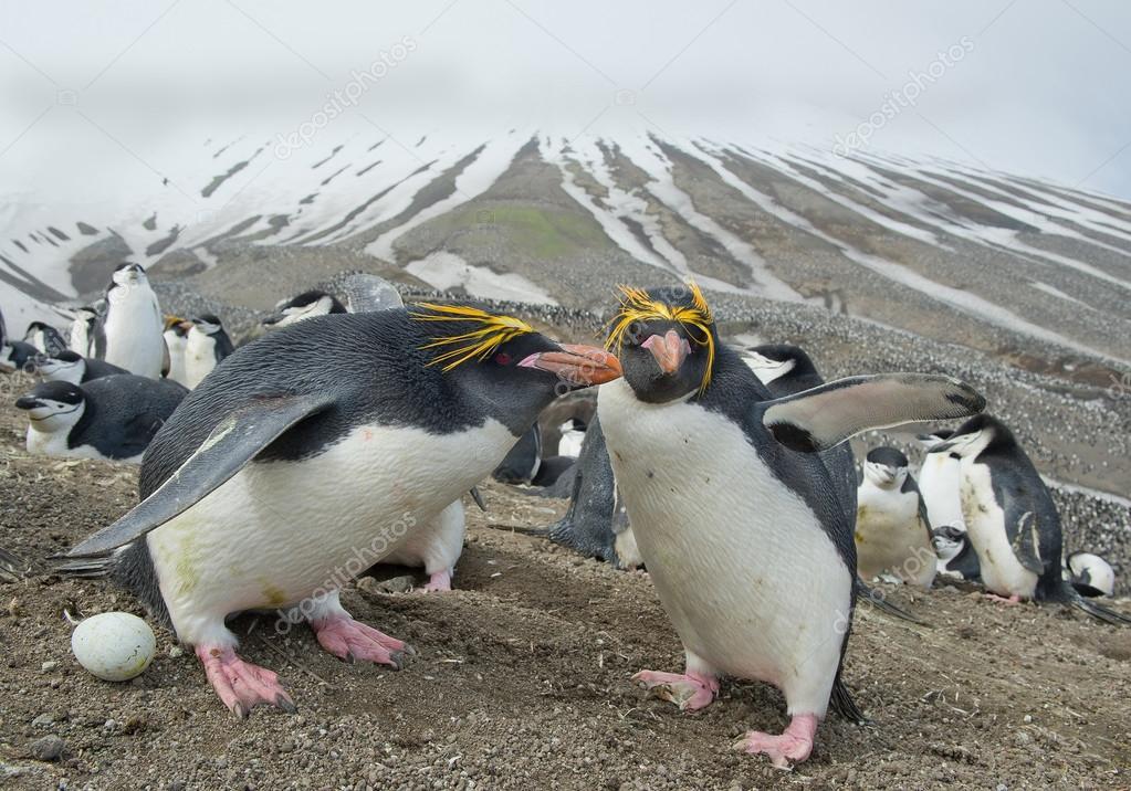Pair of macaroni penguins