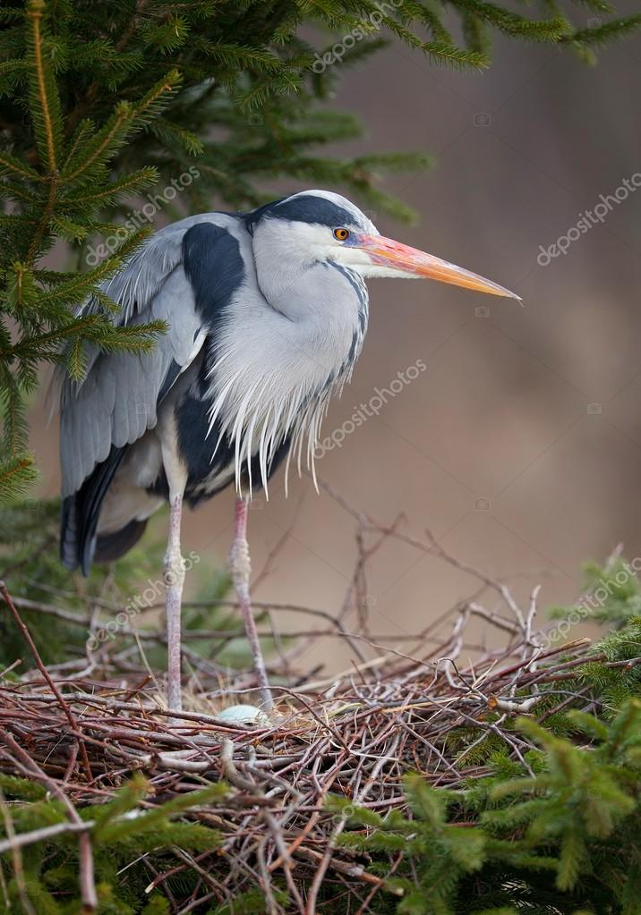 Grey heron standing in the nest