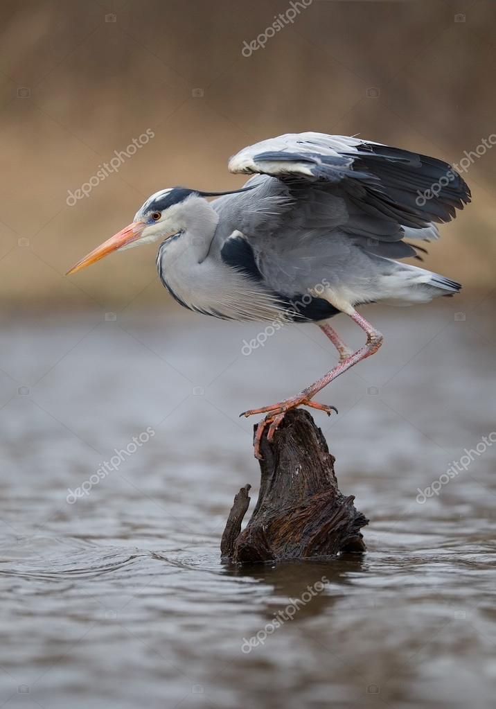 Grey heron standing on dead tree