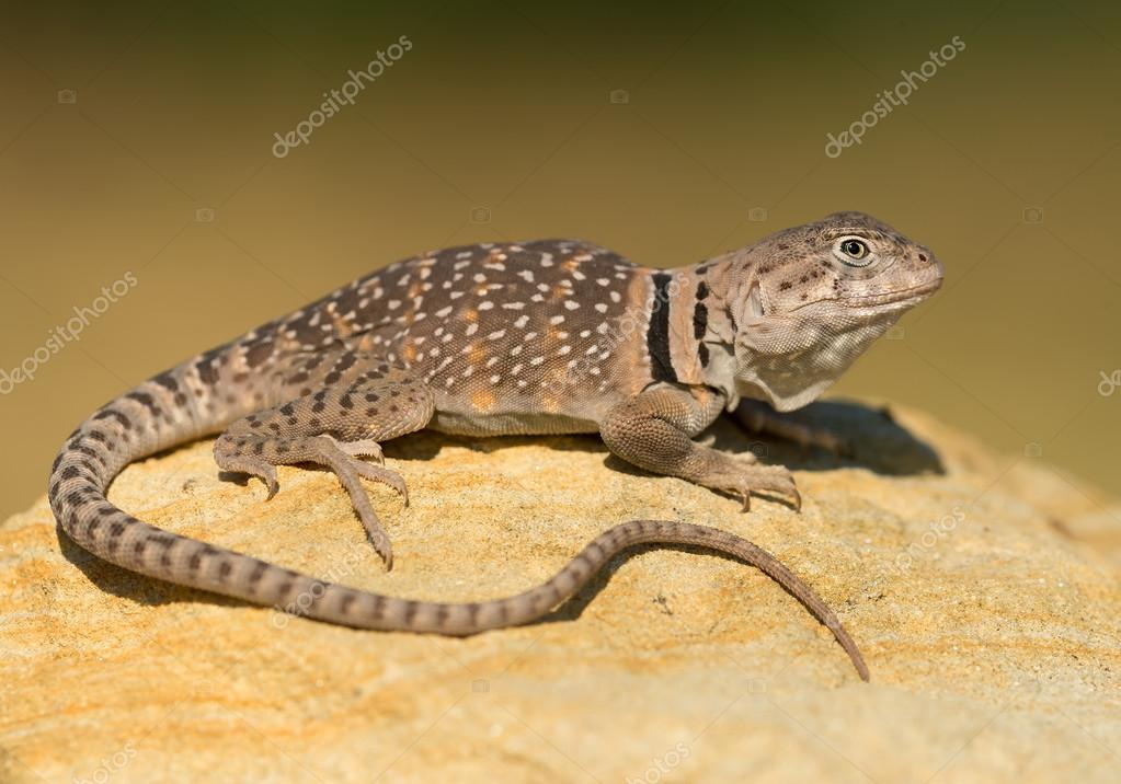 Common collared lizard on the rock