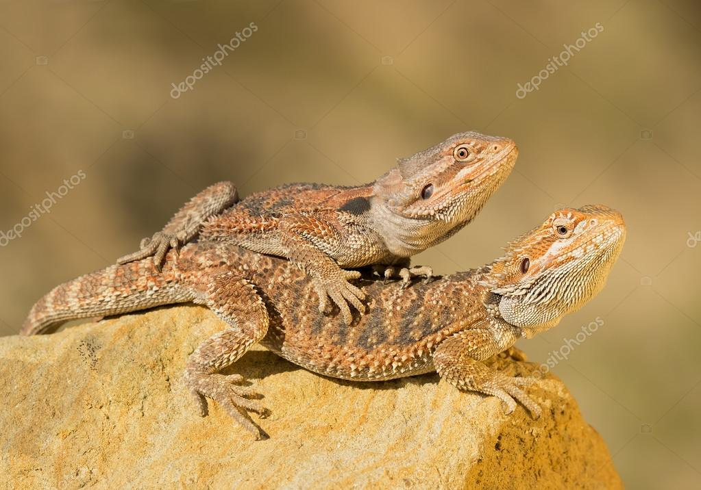 Two central bearded dragons