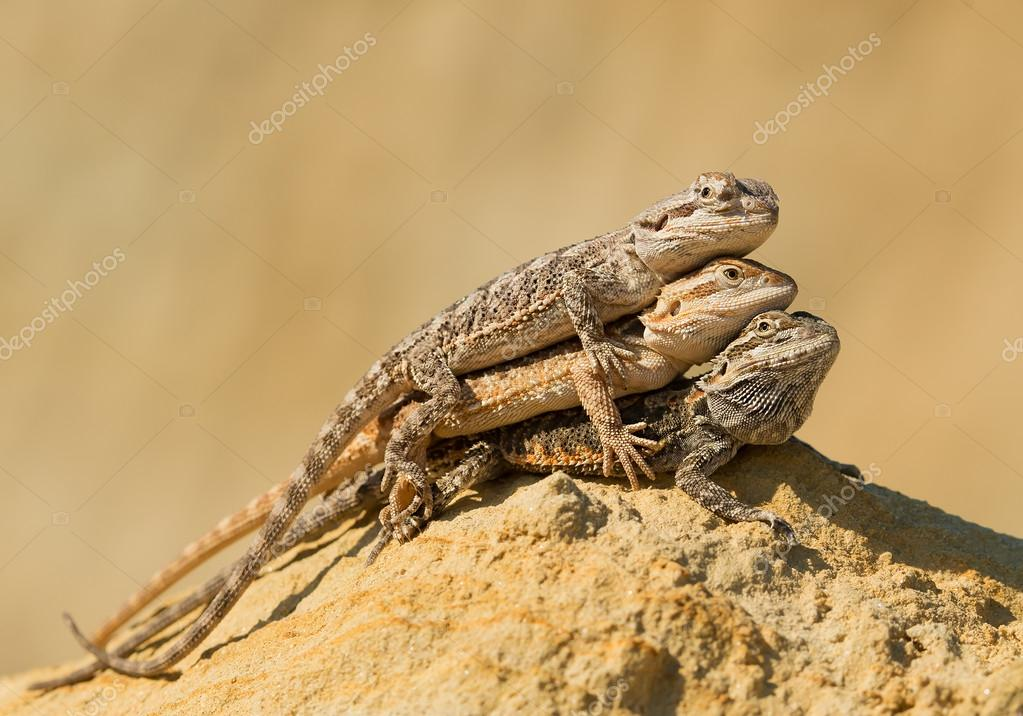 Three central bearded dragons