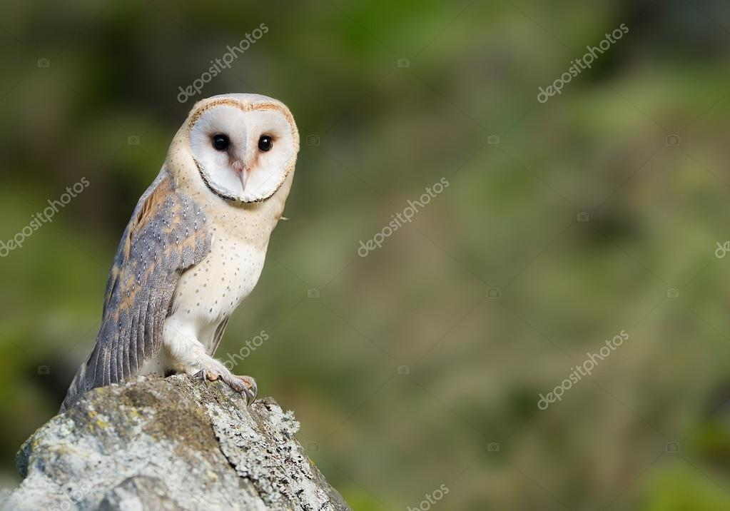 Barn owl sitting on the rock