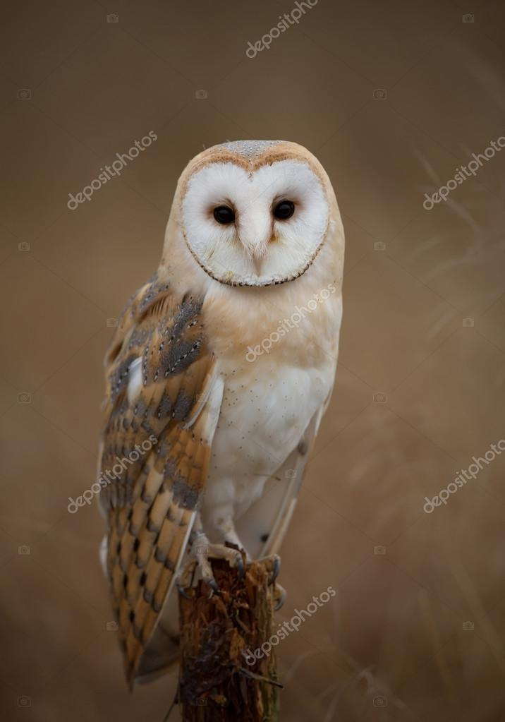 Barn owl sitting on perch
