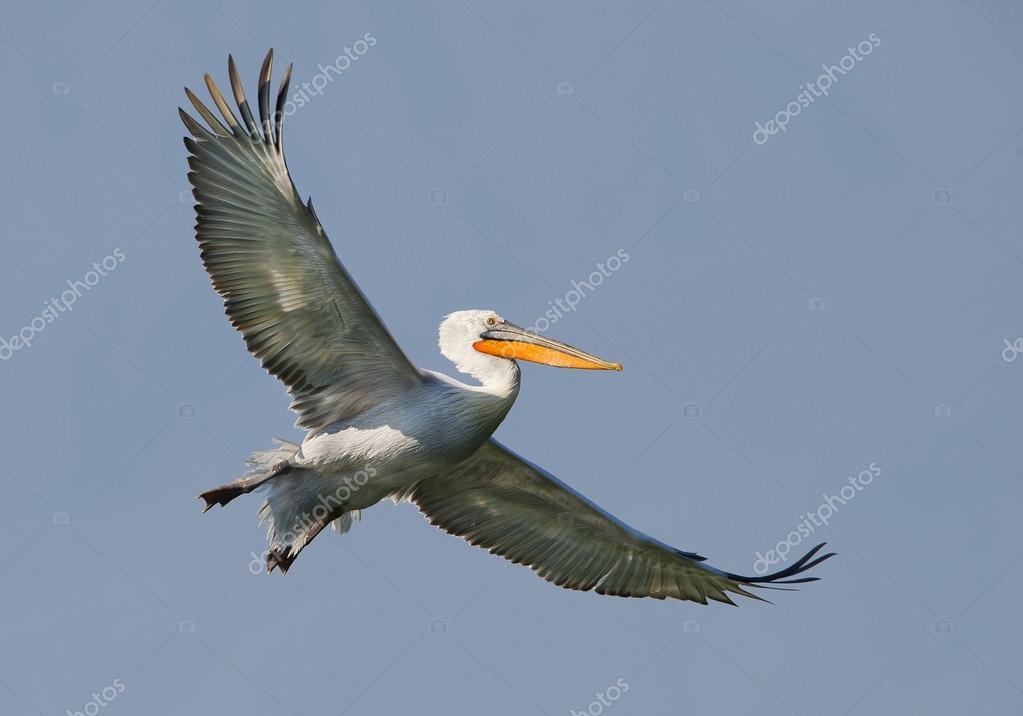 Dalmatian pelican in fligh