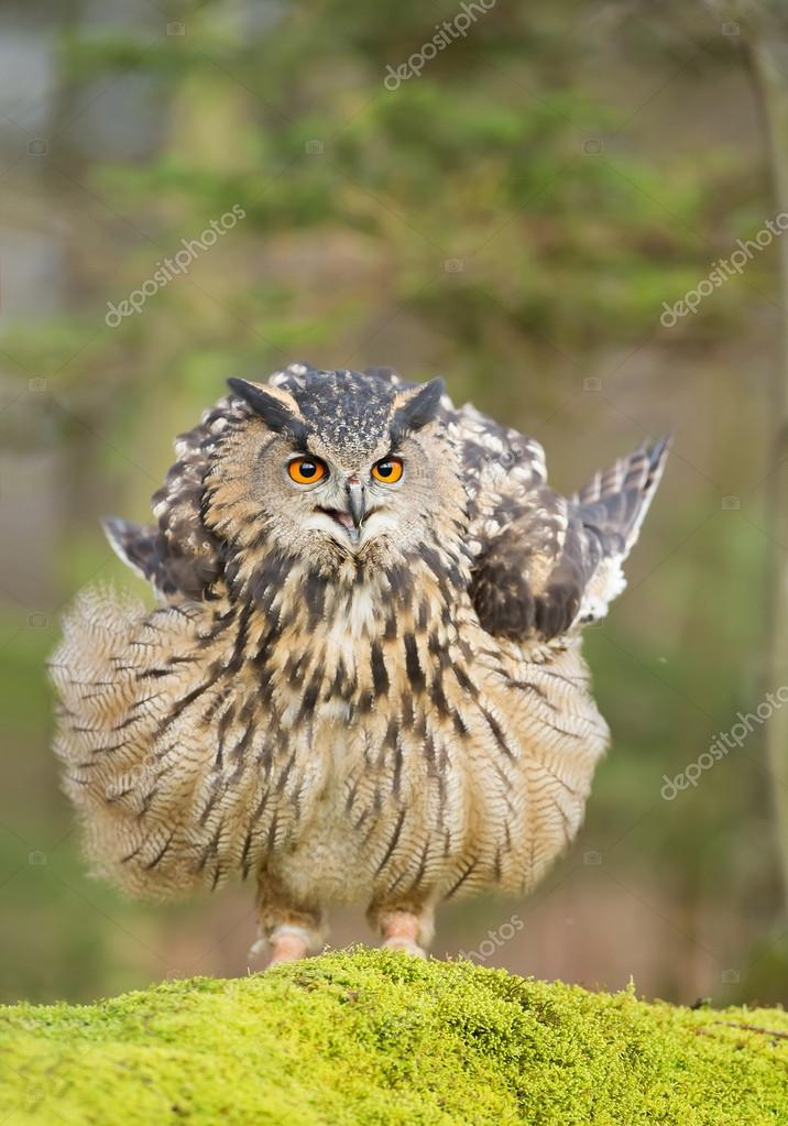 Eurasian eagle owl sitting on rock