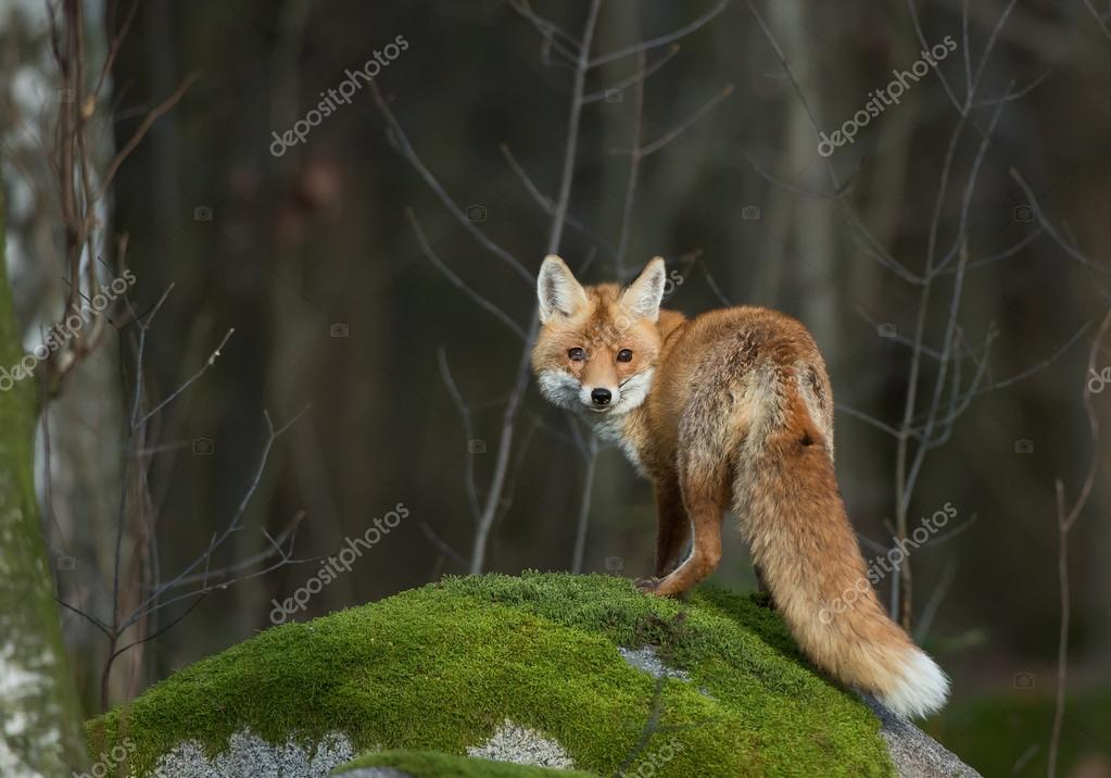 Red fox on the mossy rock