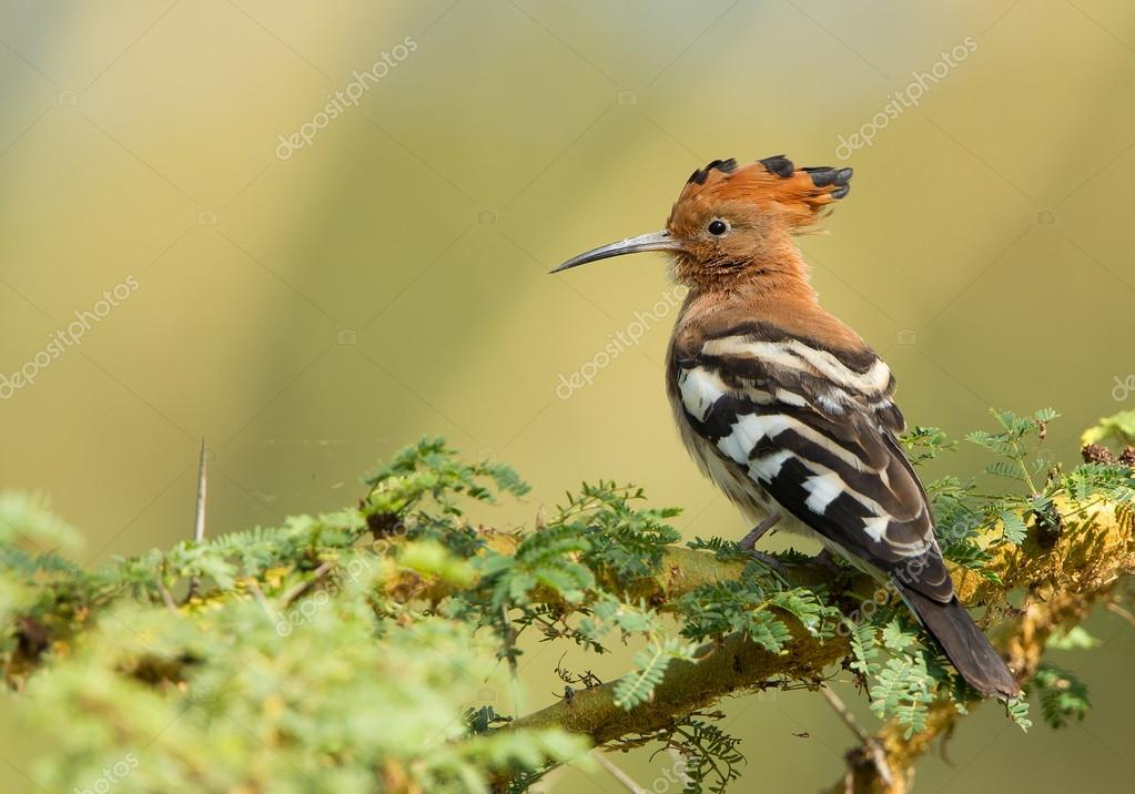 African hoopoe perching